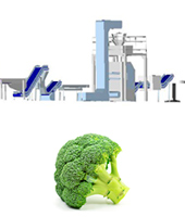 Broccoli processing line