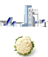 Couliflower processing line