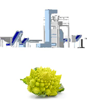 Romanesco processing line